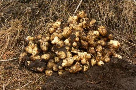 Выращивание топинамбура