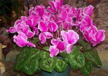 Цикламен с ярко-розовыми цветами