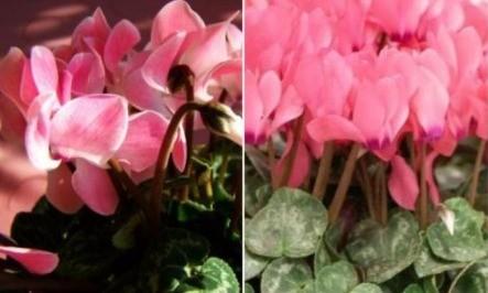 Цикламен с розовыми цветами