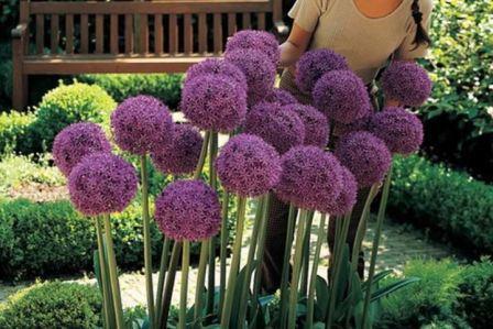 Декоративный лук, фото