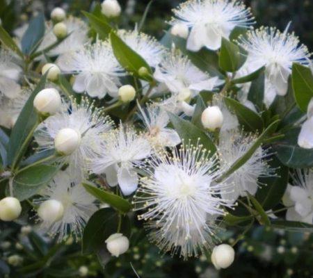Комнатный цветок мирт