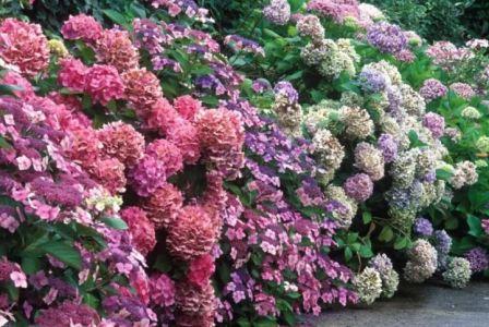 Посадка гортензии осенью, когда и как посадить