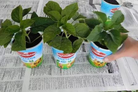 Как посадить гортензию осенью саженцем