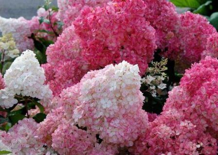 Как посадить гортензию осенью