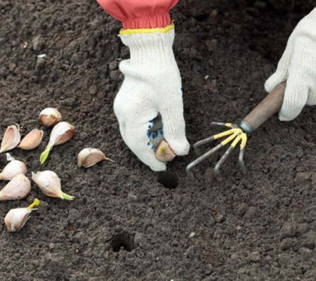 Правила посадки озимого чеснока