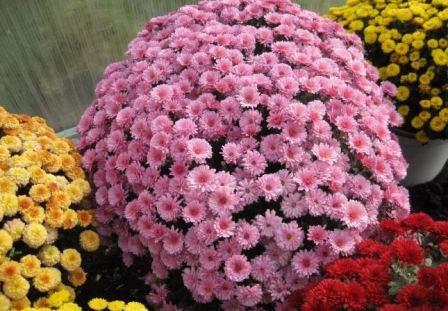Садовая хризантема мультифлора