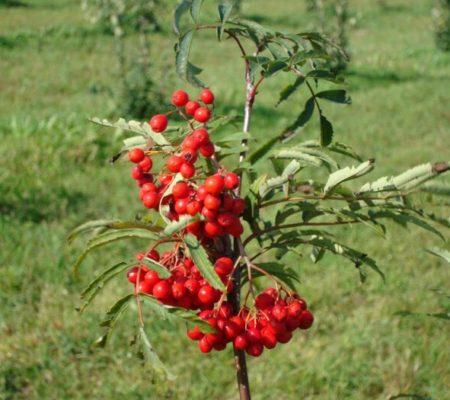 Красноплодная рябина, садовая саженцы