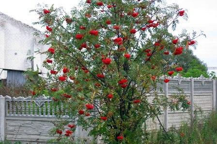 Полезные свойства красноплодной рябины