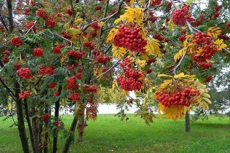 Красноплодная рябина: лечебные свойства и противопоказания