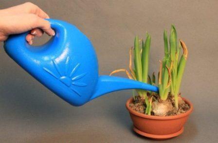гиппеаструм: полив и подкормка в домашних условиях
