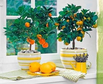 Цветок лимонник в детской