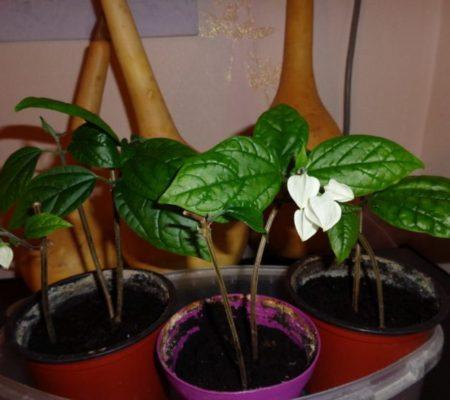 Комнатный цветок клеродендрум
