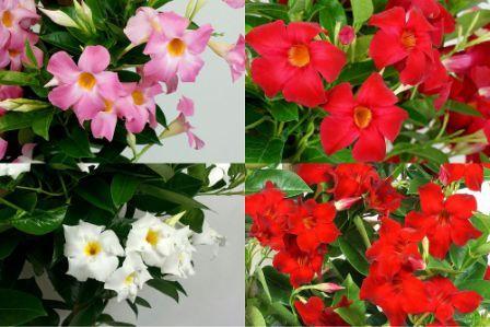 Дипладения цветок