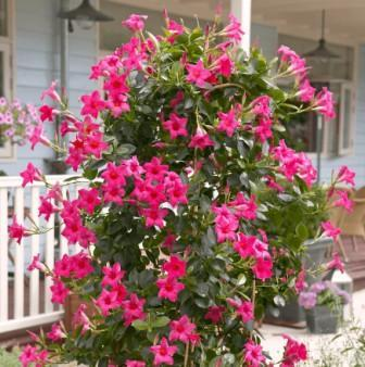 Выращивание дипладении дома
