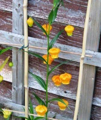Цветок сандерсония посадка и уход