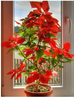 Пуансеттия цветок в доме