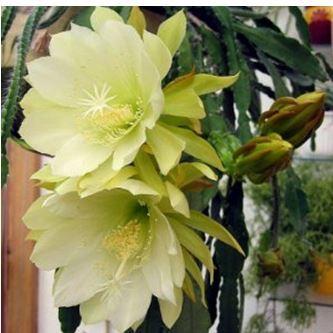 Растение эпифиллум