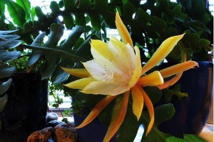 Цветущий кактус эпифиллум