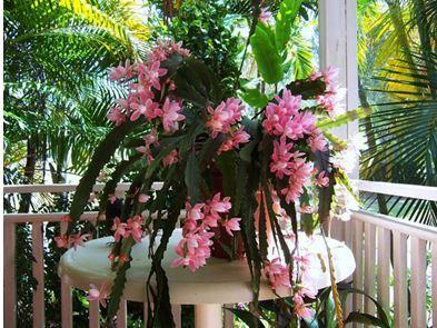 Цветок эпифиллум фото виды