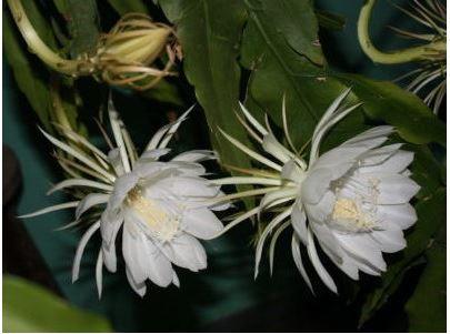 Эпифиллумы сорта виды фото описание