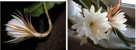 Кактус эпифиллум цветет
