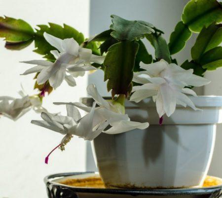 Декабрист цветок в домашних условиях