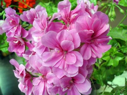 Розовая герань свойства