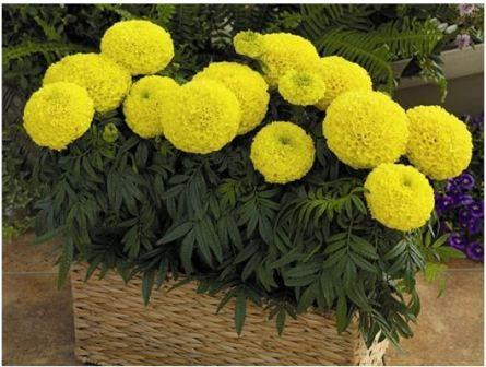 Какие цветы выращивать на балконе