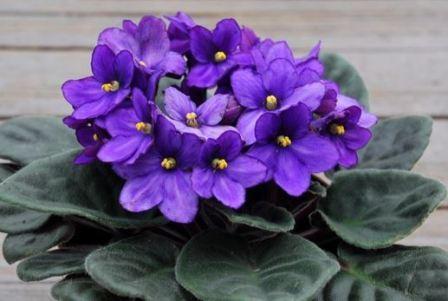 Фиалки цветок комнатный приметы