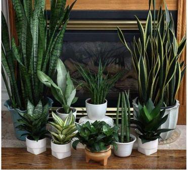 Неприхотливые комнатные растения фото