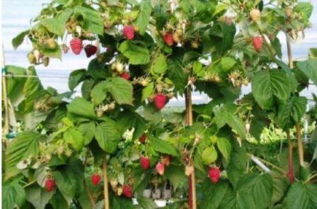 Выращивание малины штамбовой