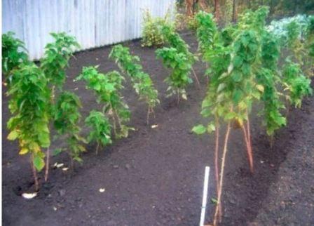 Штамбовая малина: уход и выращивание