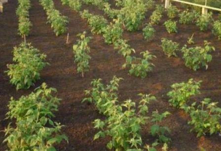 Особенности выращивания малинового дерева