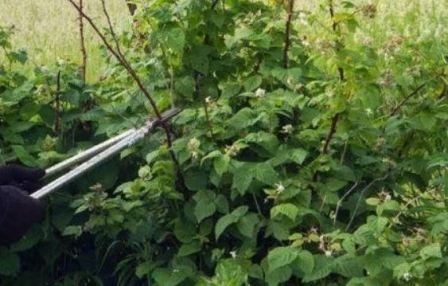 Выращивание штамбовой малины и обрезка