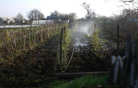 Штамбовая малина: выращивание и уход