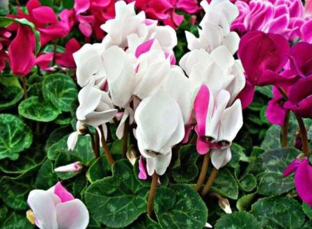 Цикламен: посадка, уход и магические свойства цветка