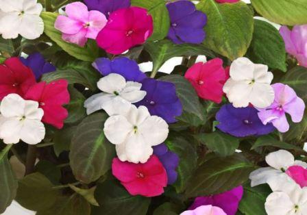 Бальзамин – украшение дома и сада