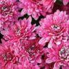 Осенние заботы о хризантеме, подготовка к зиме