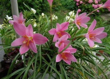 Зефирантес — цветок, любящий прохладу