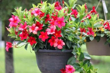 Дипладения (мандевилла): универсальный цветок