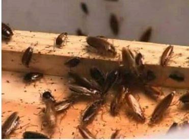 Как избавиться от тараканов в квартире или в доме