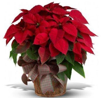 Домашний цветок Рождественская звезда, или Пуансеттия