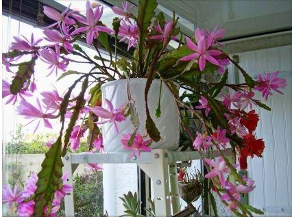 Эпифиллум: может ли кактус быть орхидеей