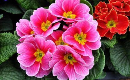 Примула – цветок, приближающий весну